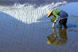 A woman planting rice by hand at the foot of Mount Fuji