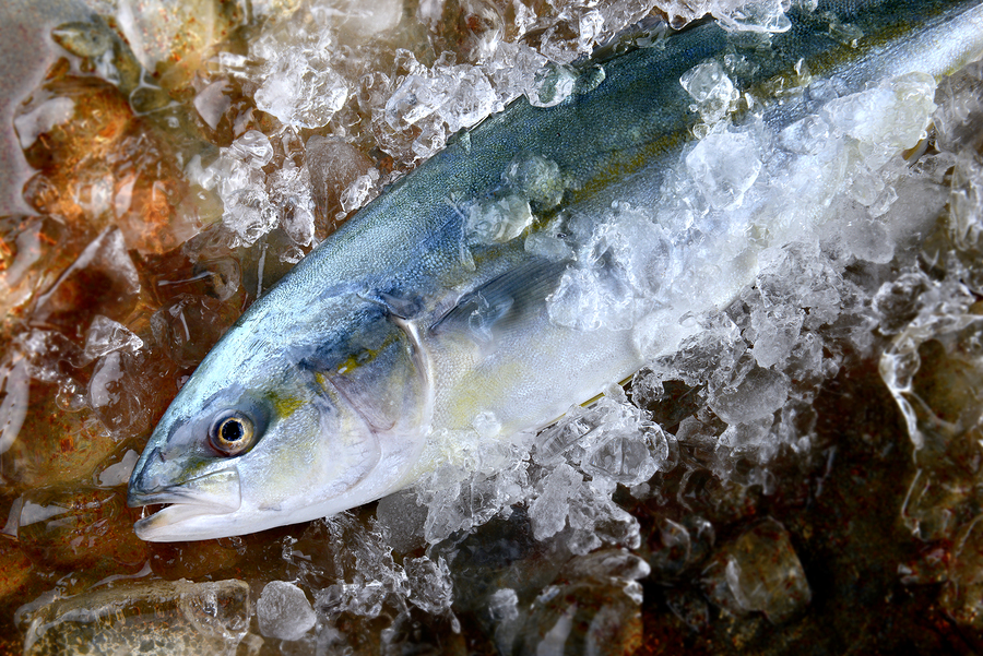Young amberjack fish or buri fish in Japan is hamachi fish frozen in ice from fishery market