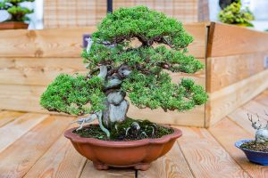 japanese pursuit of perfection symbolized in perfectly trimmed bonsai tree in a container in a Japanese garden